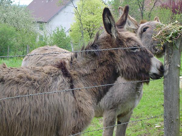 Les ânes des Chambres d'Hôte de l'Ancienne Cure